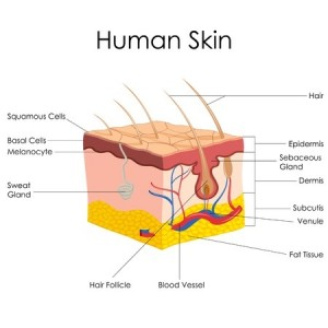 skin structure - pores