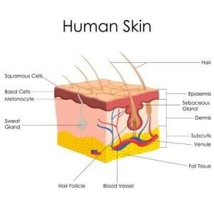 skin structure - pores